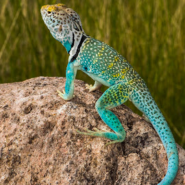 by Lisa Coletto - Animals Reptiles ( blue lizard, lizard, blue, collared lizard, reptile, animal )