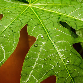 Leaf by Shiva Ranjita - Nature Up Close Leaves & Grasses ( single, green, day, leaf, rain )