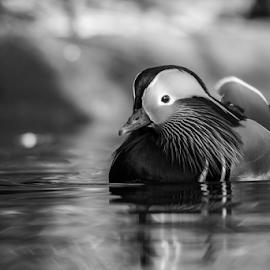 Duck by Garry Chisholm - Black & White Animals ( mandarin, nature, ducj, bird, garry chisholm )