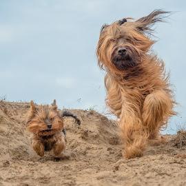 Baby girl and Fieroooo by Natasja Martijn - Animals - Dogs Running ( sand, dogs, fiero, baby girl, running )