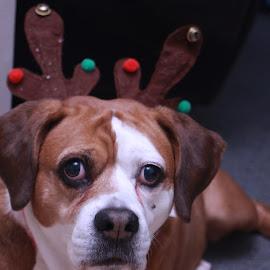 Sasha by Sheryl Chapman - Animals - Dogs Portraits ( pet, christmas tree, portraits, dog, animal portraits, animal )