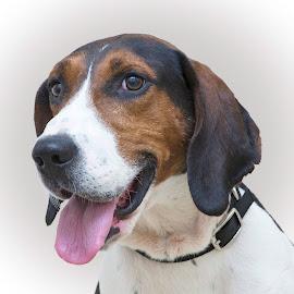 Copper - A Shelter Dog by Ginger Wlasuk - Animals - Dogs Portraits ( shelter, hound, rescue, dog, hounfdog )