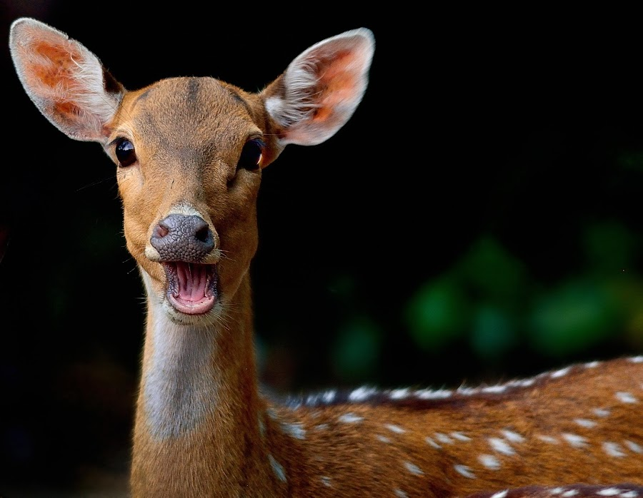 Close up of a deer by Francois Wolfaardt - Uncategorized All Uncategorized ( contrast, spots, macro, nature, brown, eyes, deer,  )