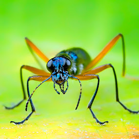 Fierce Insect by Tan Tc - Animals Insects & Spiders ( tiger beetle, nature, macro photography, close up, beetle )