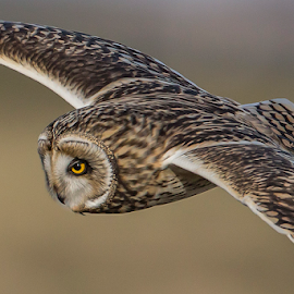 SEO by Adam Caird - Animals Birds ( canon, scotland, bird of prey, nature, sunset, owl, wildlife, close up, birds, owls,  )