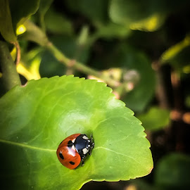 Lady bug by Natalia Dobrescu - Instagram & Mobile iPhone ( invertebrate, macro, bug, insect, lady bug, photography, close-up )