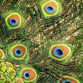 colors by Adriana Petcu - Abstract Patterns ( bird, patterns, colors, green, feathers, peacock )