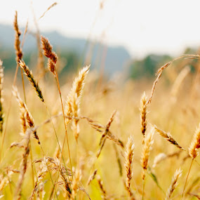 grass field by Steph Doyle - Nature Up Close Leaves & Grasses ( valley forge, grass, sun )