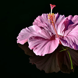 Pink on Black by Joshua Roberts - Flowers Single Flower ( pink, nature, hibiscus, black, water, flower,  )