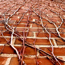 Vine Brick Wall by Alexis Schroeder - Nature Up Close Other Natural Objects ( red, brick, vine, grow, wall )