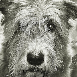 Maddy by Helen Rohan - Animals - Dogs Portraits ( wolfhound, black and white, sighthound, irish, dog )