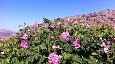 Oman's Jabal Akhdar in this Time of Blooming Roses