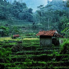 farmer house by Asep Neuneu - Landscapes Mountains & Hills ( field, farmer, green,  )