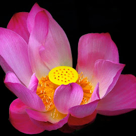 Pink blooming lotus by Francois Wolfaardt - Flowers Single Flower ( contrast, lotus, macro, lily, nature, blooming, pink, yellow, flower )