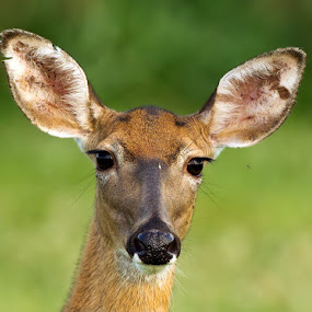 by Herb Houghton - Animals Other Mammals ( white tailed deer, deer )