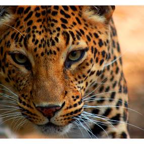 Hey you by Baidyanath Arya - Animals Lions, Tigers & Big Cats ( lion,  )