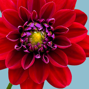 Ready for Red! by Paula Eagle - Nature Up Close Flowers - 2011-2013 ( dahlia )