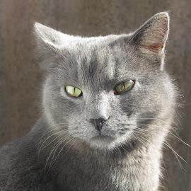 Green eyes by Michael Krivoshey - Animals - Cats Portraits ( cat, green, beautiful, cute, portrait, eyes,  )