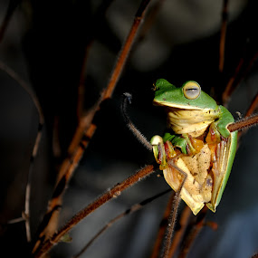 Tree frog by Bharathkumar Hegde - Animals Amphibians