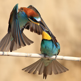 Bite me gently by Ivan Stulic - Animals Birds ( bite, merops apiaster, branch, birds, bee-eater )