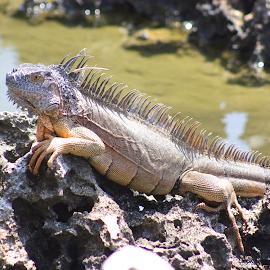 Dino by Mike Jarecke - Animals Reptiles ( reptiles, animals, zoo, dinosaur, #snapshotphotoadventures, hell, #avchap )