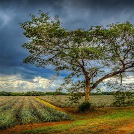 lone tree by Peter Schoeman - Landscapes Prairies, Meadows & Fields ( clouds, green, trees, road, dirt, leaves, light, fields )