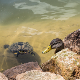 looking for a friend by Vibeke Friis - Animals Amphibians ( turtle and duck,  )