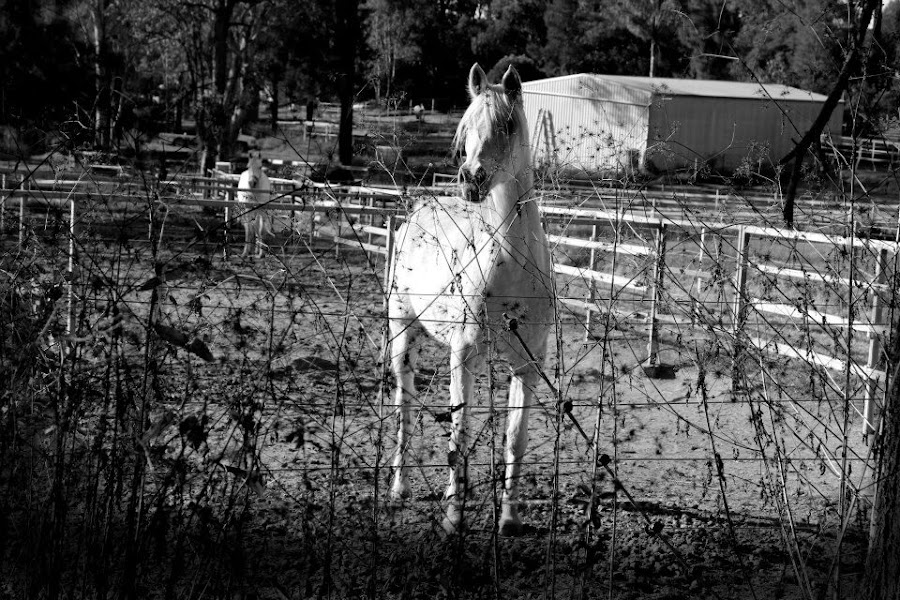 Arabian nights. by Jordiie Hunt - Animals Horses
