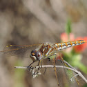 Varigated Meadowhawk