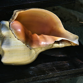 Conch by Cal Brown - Artistic Objects Still Life ( cancun, conch, mexico, still life, seashell, artistic objects )