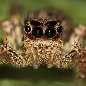 Plexippus paykulli by Bhavya Joshi - Animals Insects & Spiders ( jumping spider )
