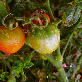 { Triple Wet Tomato's }  by Jeffrey Lee - Nature Up Close Gardens & Produce ( { triple wet tomato's } )