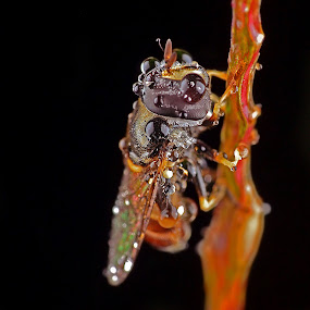 bee by Lanun Syah - Animals Other ( macro, animals, other, art, close up )