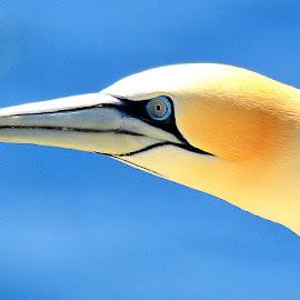 Gannet by Kenny Goodison - Animals Birds ( gannet, blue, beak, white, birds )