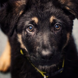 Harry  by Todd Reynolds - Animals - Dogs Puppies