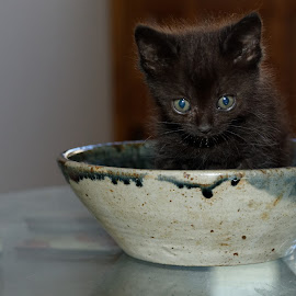 Kit in a bowl by Marketa Zvelebil - Animals - Cats Kittens ( cats, animals, kitten, pets,  )