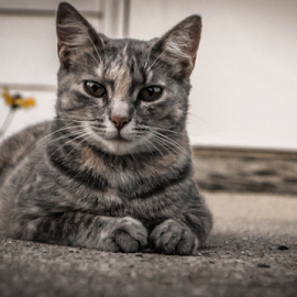 Just a lazy day  by Greg Sommer - Animals - Cats Portraits