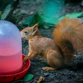 Red Squirrel by Marc Steele - Animals Other Mammals ( water, animals, critters, mountain, wales, welsh mountain zoo, furry, green, wildlife, cymru, mammal, coast, colwyn bay, red, zoo, outdoors, red squirrel, squirrel, animal )