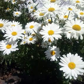 Summer daisies by Karen McGregor - Flowers Flower Gardens (  )