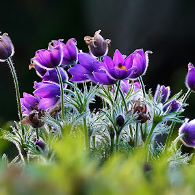 by Sunny Zheng - Flowers Flower Gardens ( backlit, wither, violet )