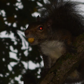 Demon Squirrel! by Thomas Fitzrandolph - Animals Other ( animals, nature, squirrels, niagara county ny, nikon d5200, lockport ny )