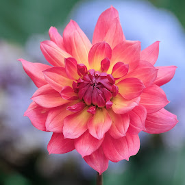 Red flower dahlia by Jim Downey - Flowers Single Flower ( red, orange, blue, dahlia, yellow )