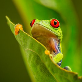 Cheeky Red Eyed Tree Frog by Sandra Cockayne - Animals Amphibians ( red eyed tree frog, frog, tree frog, froggy, amphibian, grumpy frog, sandi cockayne, cute, green frog, cute frog, cute green froggy, red eyes, sandra cockayne, frogs, red eye, cute froggy, animal,  )