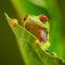 Red Eyed Green Tree Frog 6 Resized down for Pixoto.jpg