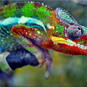 chameleon by Nic Scott - Animals Reptiles ( chameleon, reptile,  )