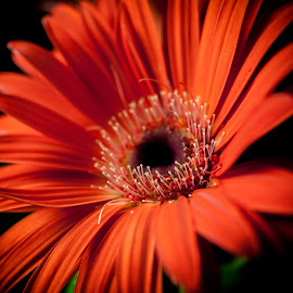 Orange by Panait Sorin - Flowers Single Flower ( orange, stamens, nature, focus, flower )