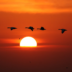 bar headed goose by Zahoor Salmi - Animals Birds ( animals, nature, zahoorsami, wildlife, birds )