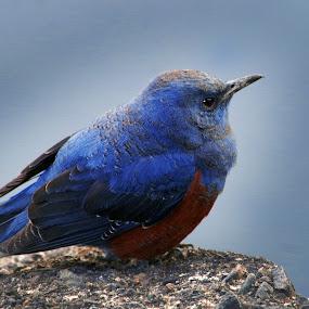 blue rock trush by Indra Fardhani - Animals Birds ( trush,  )