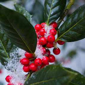 Holly in Snow by Steph Doyle - Nature Up Close Leaves & Grasses ( holly, red, snow, blizzard, leaves )