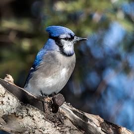 by Jacques Lamarche - Animals Birds